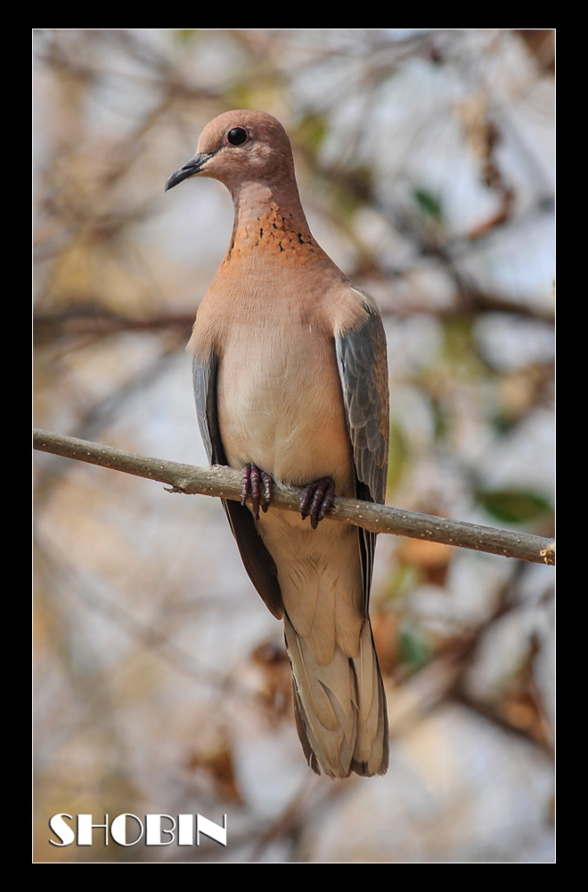 Photograph Pigeon by Shobin George on 500px
