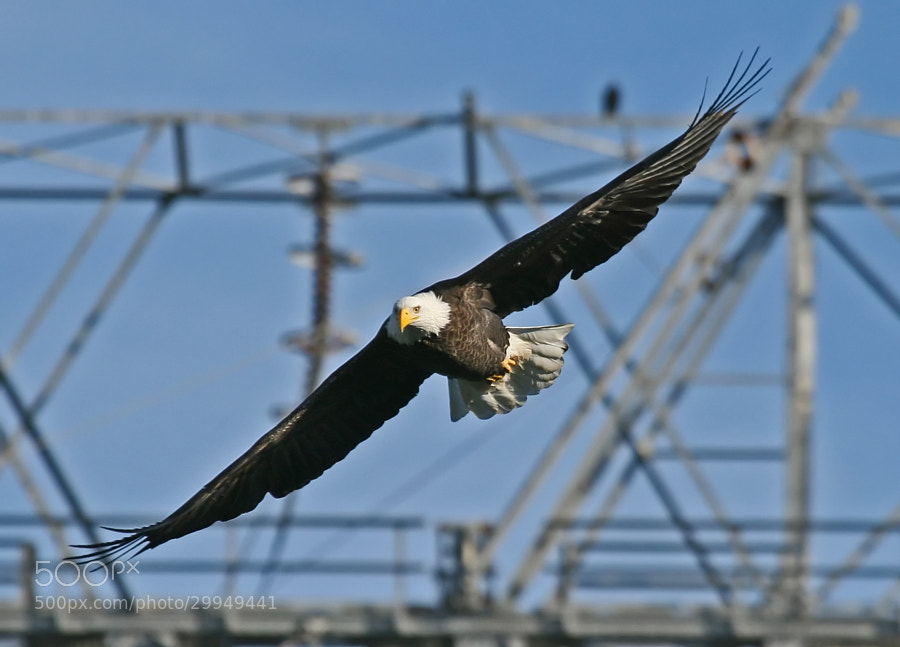 A mature Bald Eagle leaves its perch high over the Susquehanna River in search of it's next meal.