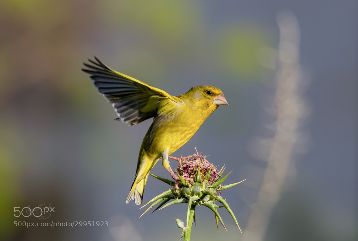 Photograph European Greenfinch by Ariel Patish on 500px