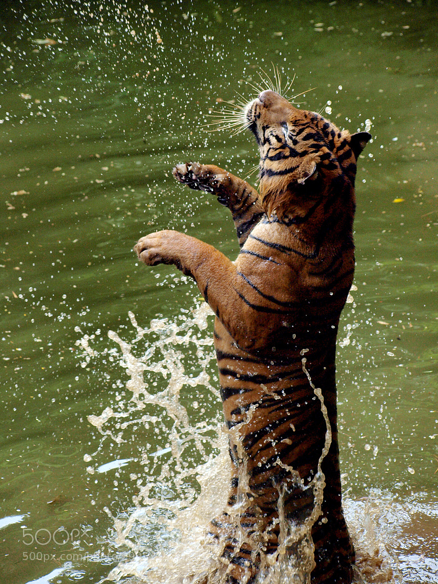 Photograph Happy Tiger by Erfin Nugroho A.K.A erfin3000 on 500px