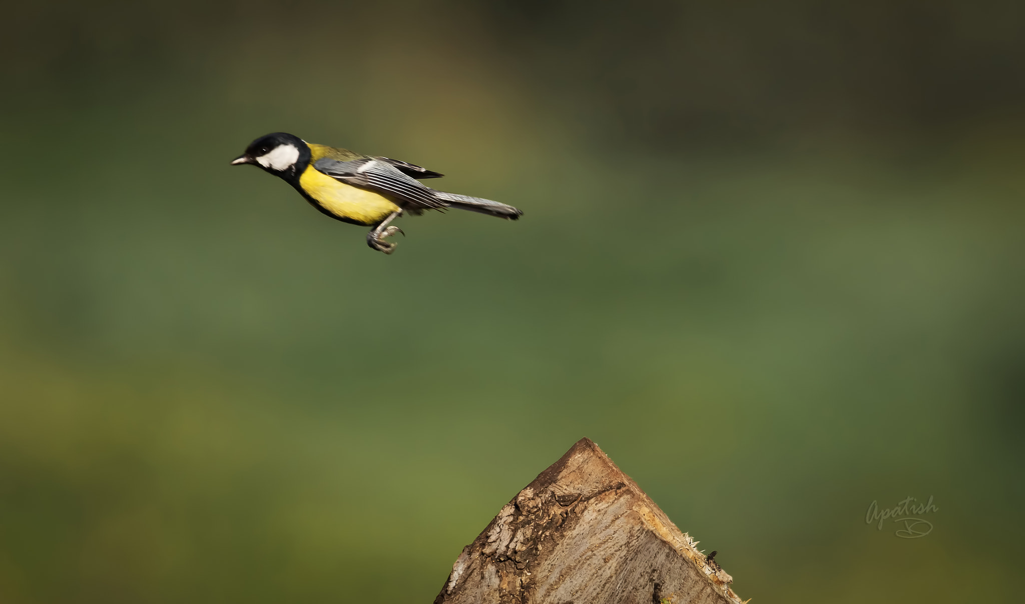 Photograph A GREAT tit JUMP by Ariel Patish on 500px