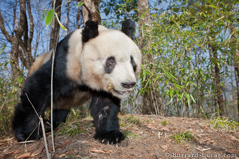 """A wild Giant Panda in China's remote mountains. This was one of the most incredible animal encounters I have ever had. You can see more photos and video footage here: http://www.burrard-lucas.com/pandas/  - More <a href=""""http://blog.burrard-lucas.com/2011/10/giant-panda-tracking/"""">Panda photos</a>"""