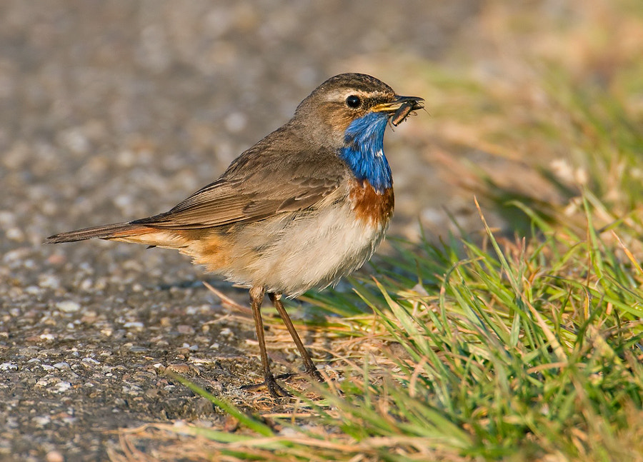 In warm early morning light and full of proud this White-star Bluethroat is showing me his just captured beetle. Shot taken at the same place, a small bicycle path near were I live, as the Reed Bunting I did upload yesterday.  Best regards, Harry