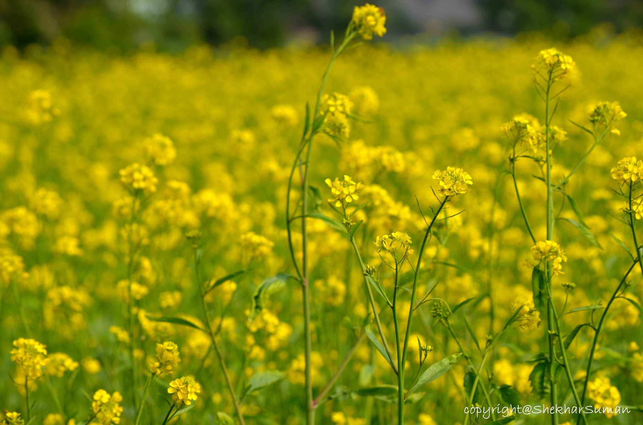 Photograph mustard flower.! by Shekhar Suman on 500px
