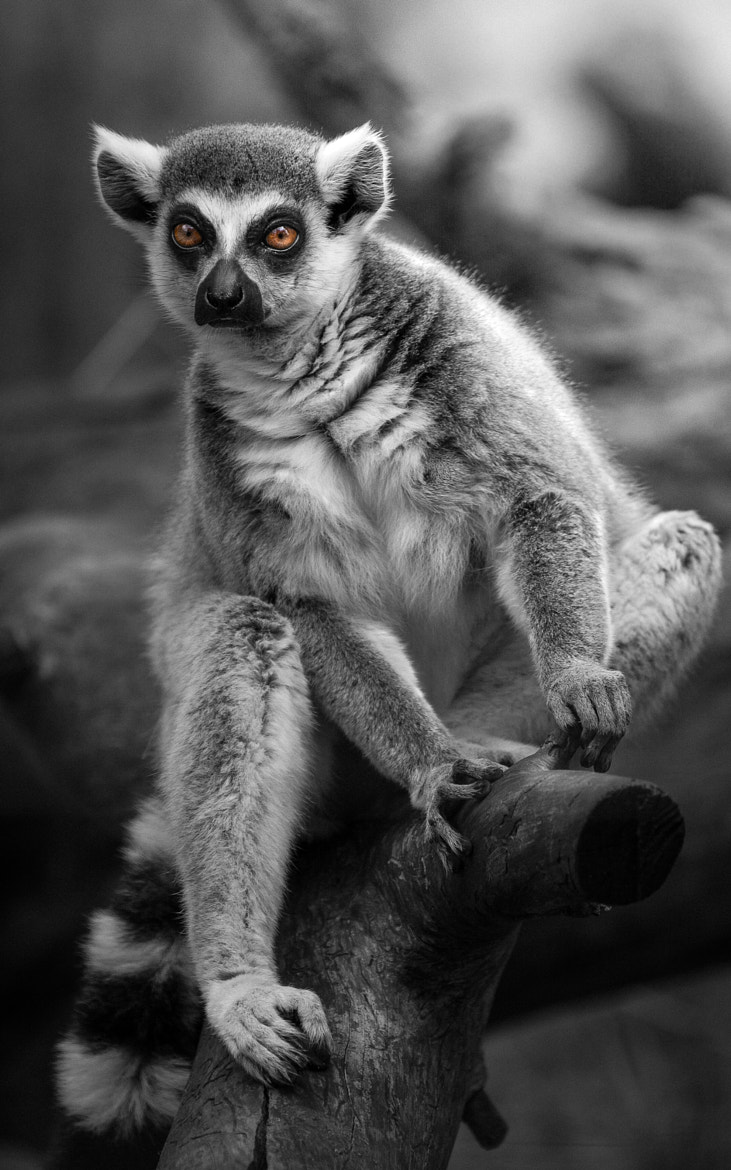 Photograph King Julien by Shay Wax on 500px