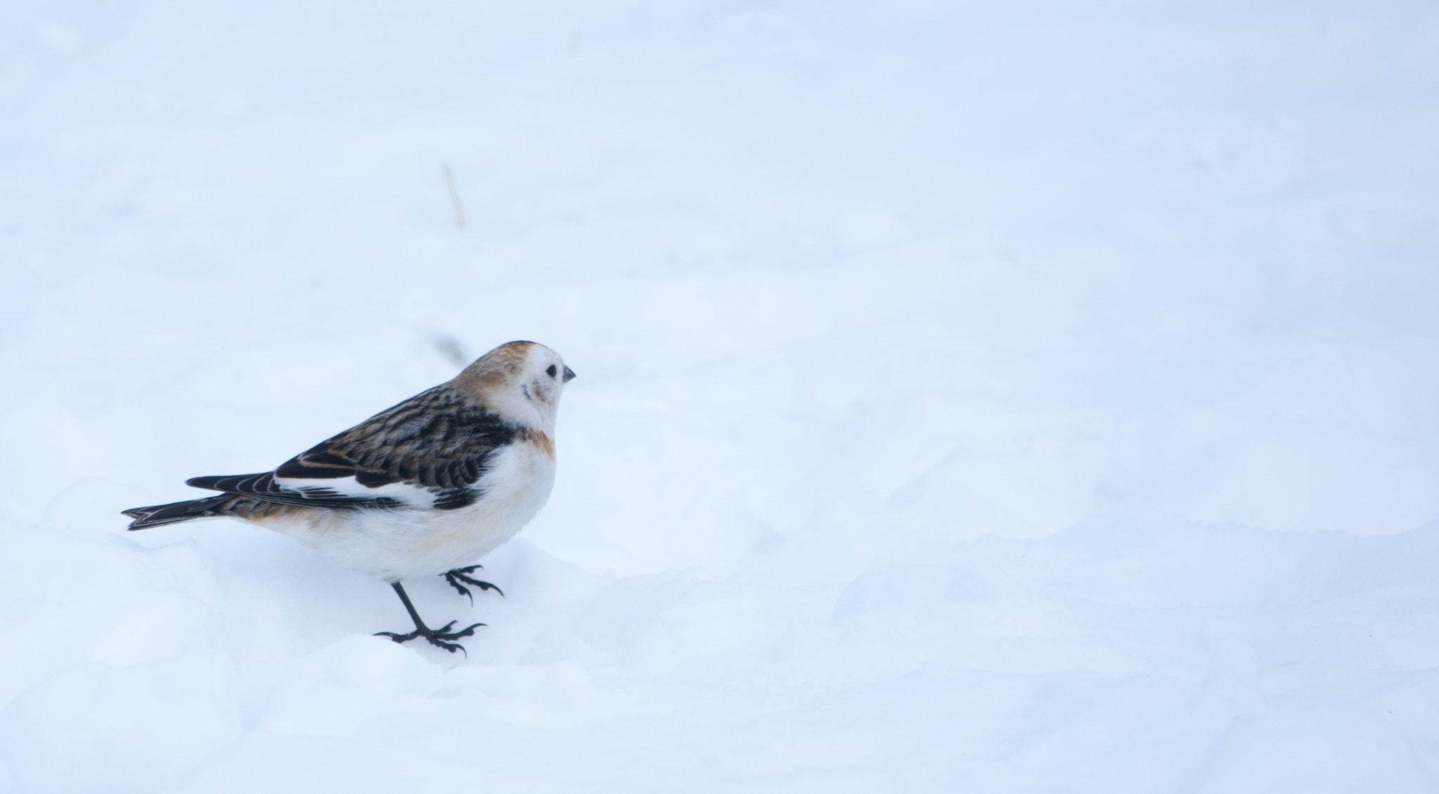 Photograph Snow Bunting by Ciaran Kealy on 500px