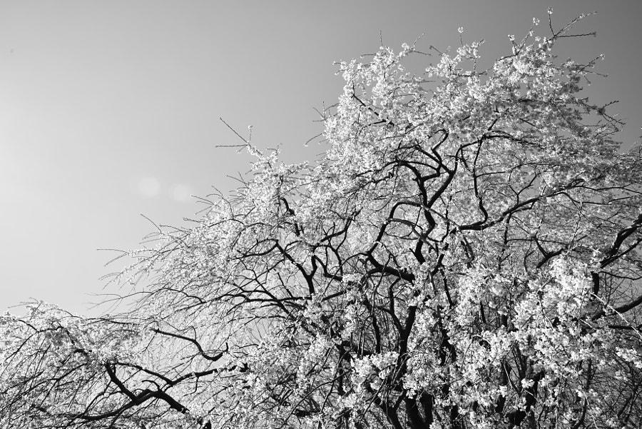sakura by ・tsubu  on 500px.com