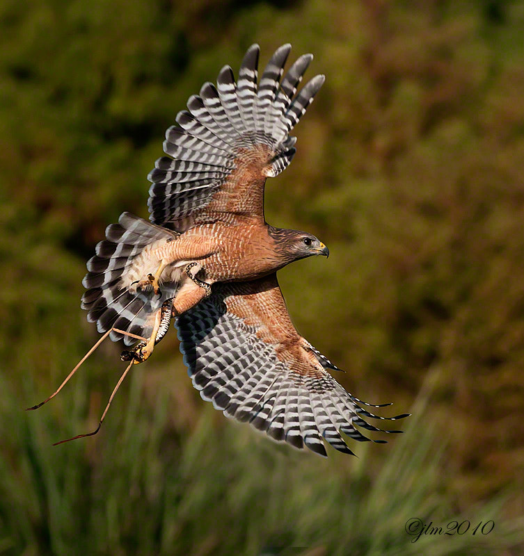 We had been watching this red shouldered hawk on a snag when he suddenly took off and flew into the tall grasses.  Next we saw him imerge with a big snake.  They are fast and and within seconds he was gone carrying this large snake wrapped aroud his leg.  A thrill to see !