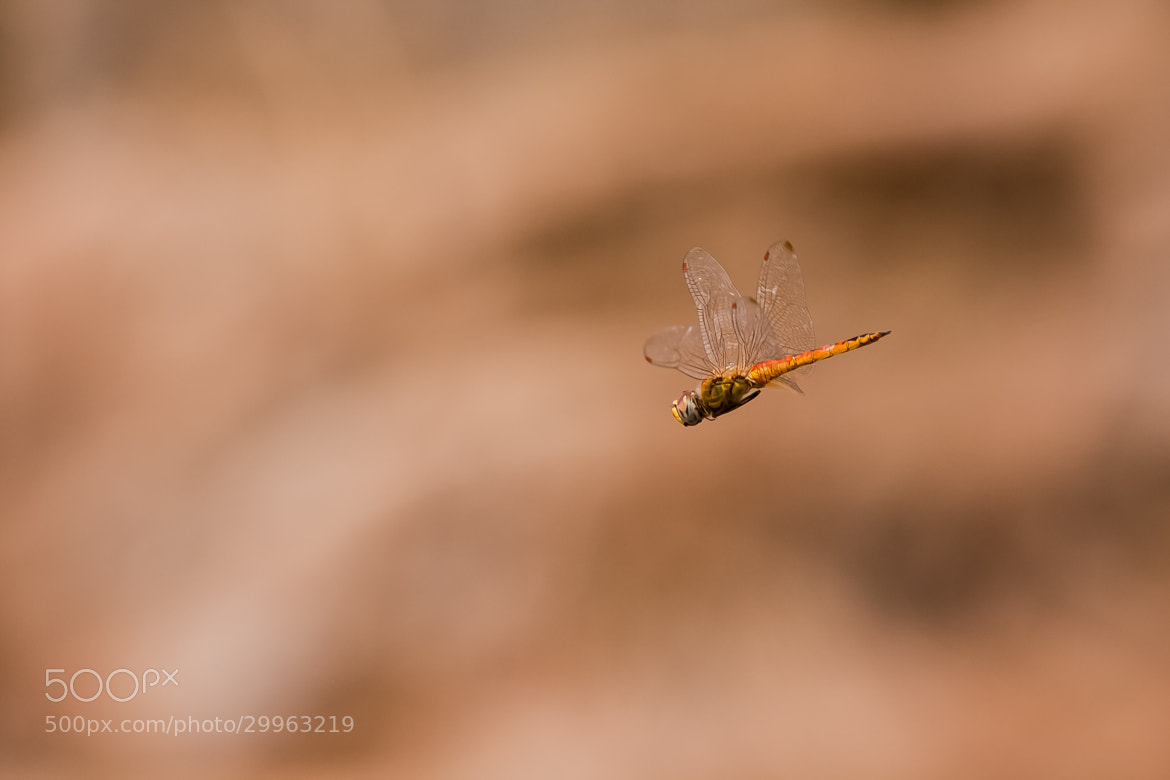 Photograph ...Dragon Fly in Flight... by Pradeep BR on 500px
