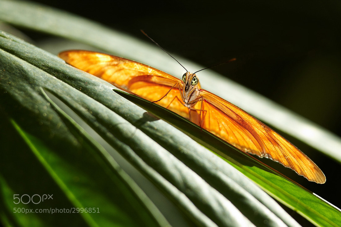 Photograph Butterfly by Ron Caswell on 500px