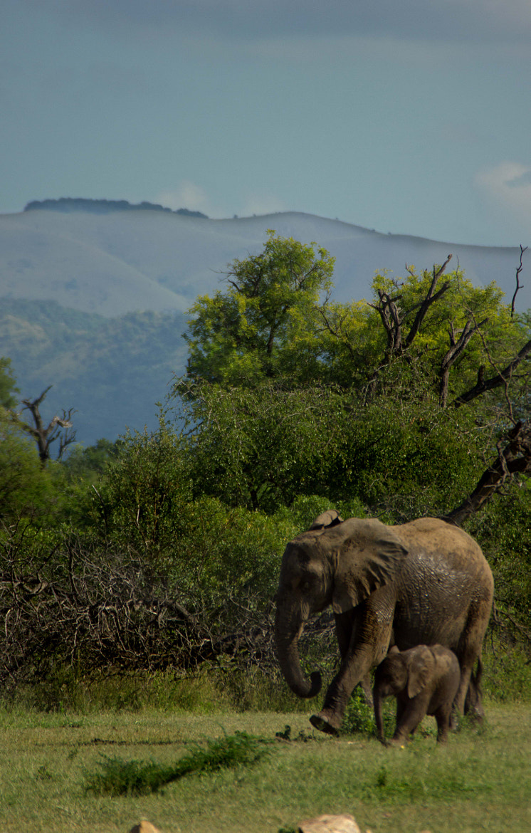 Photograph Elephant walk by Nelis Nienaber on 500px