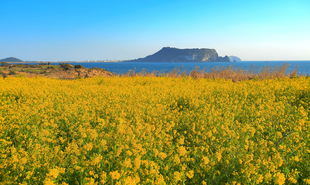 Photograph The rape flowers are in full bloom on Jeju Island by Eduardo choi on 500px