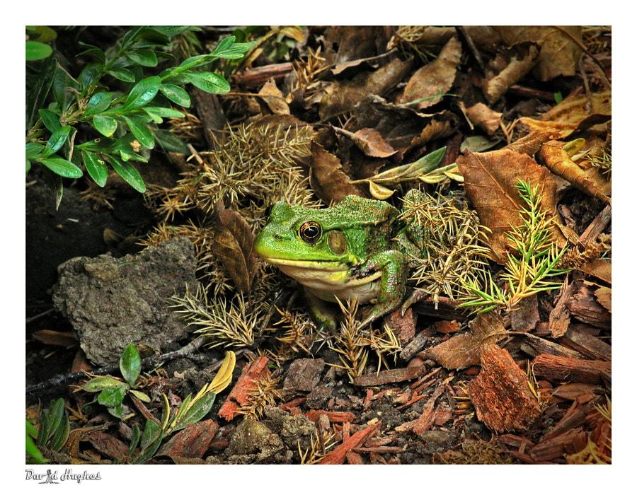 Bull Frog In The Garden