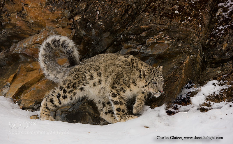 Photograph Snow leopard by Charles Glatzer on 500px
