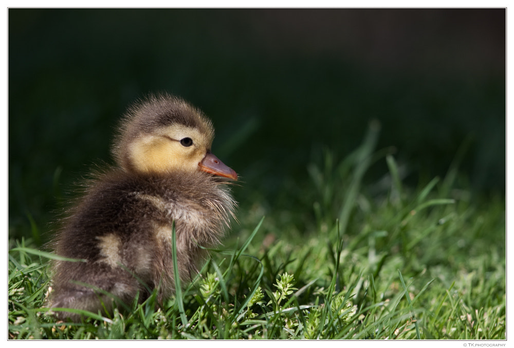 Photograph Ducky by Tobi K on 500px