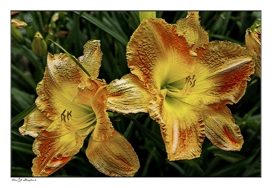Lillies - HDR