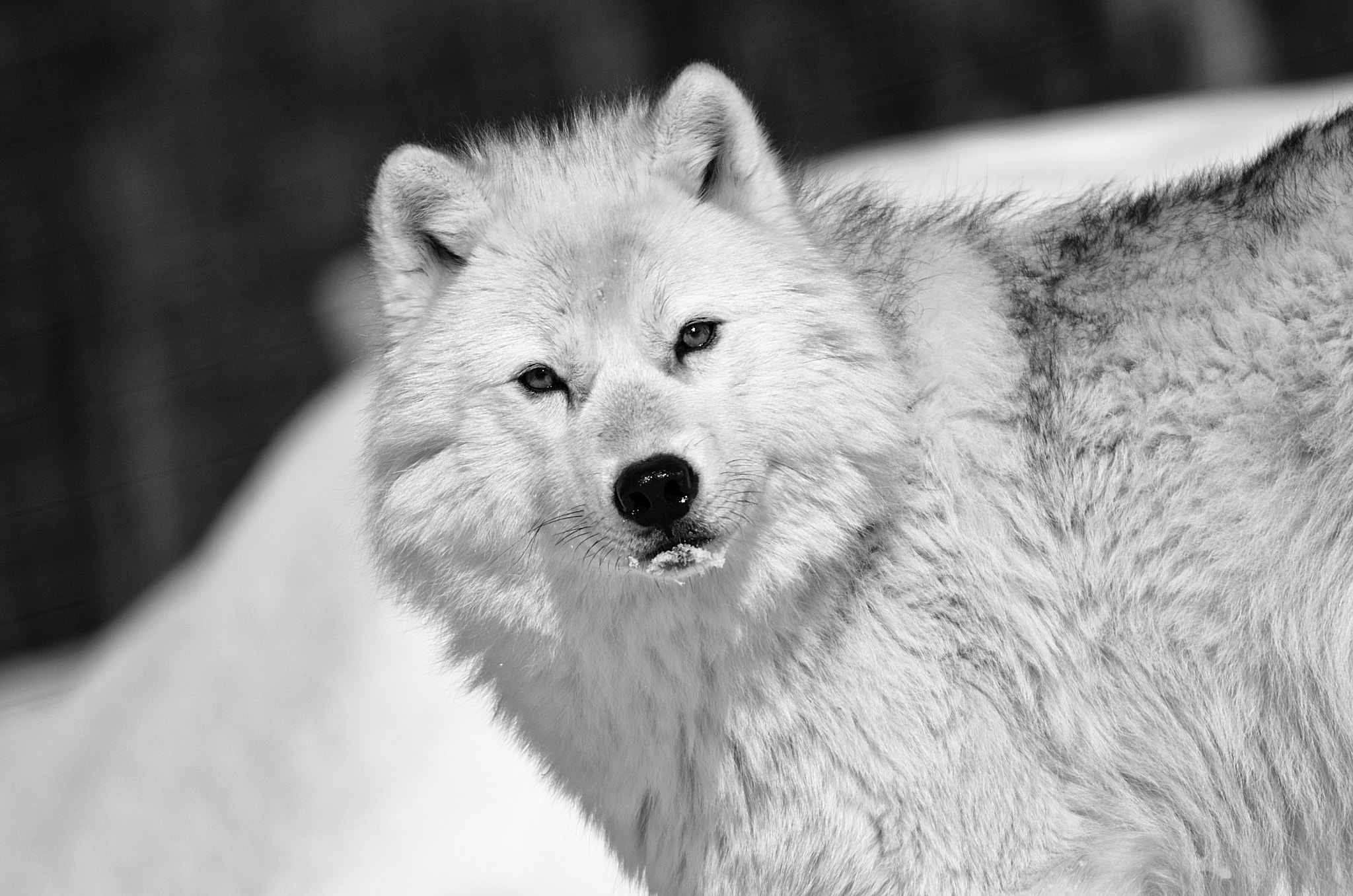 Photograph Polar Canadian Wolf by Vladimir Naumoff on 500px