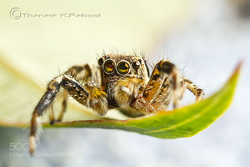 Photograph Jumping Spider by Thanate K.Paibool on 500px