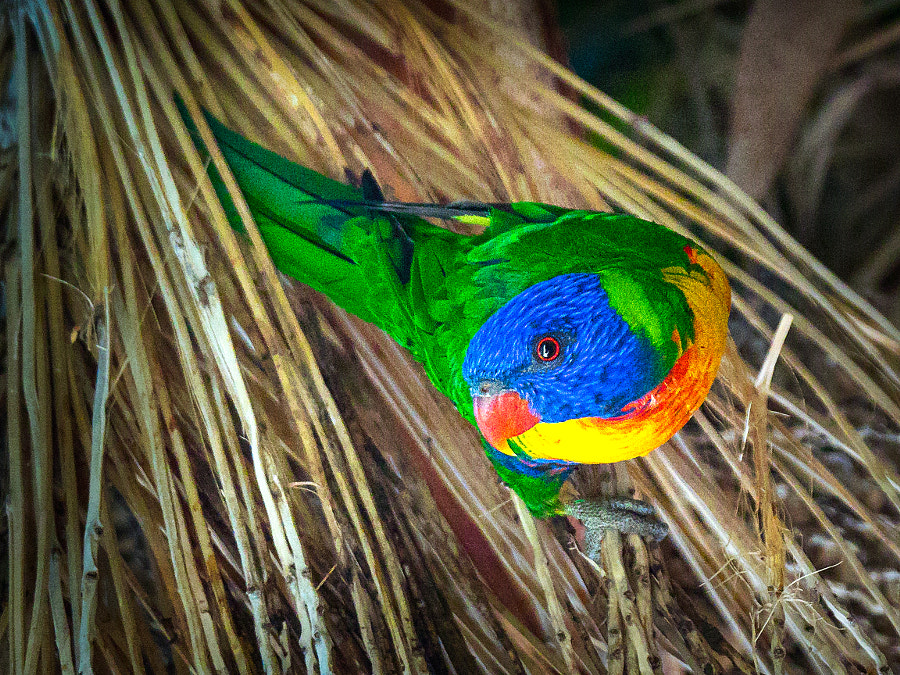 Rainbow Lorikeet by Paul Amyes on 500px.com