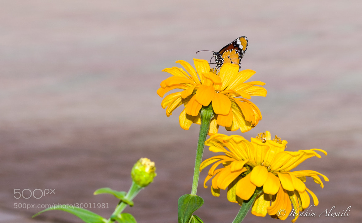 Photograph Butterfly by Ibrahim AlWaili on 500px