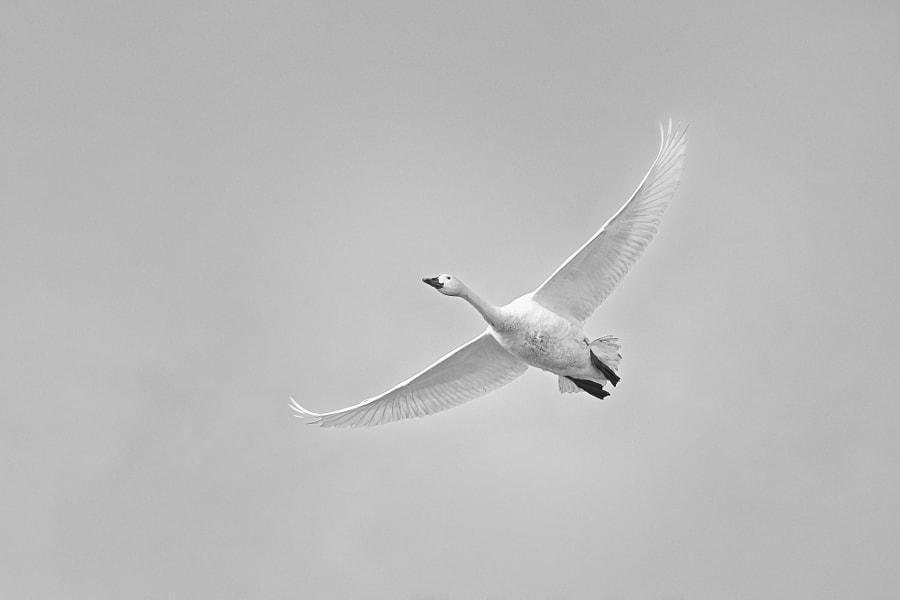 白鳥 by Kousuke Toyose on 500px.com