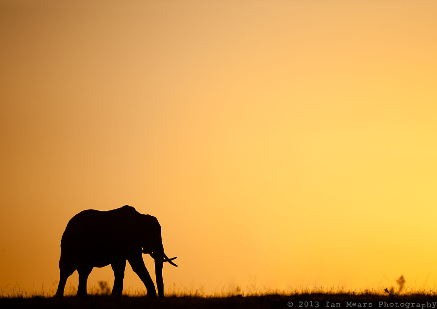 Elephant at Sunrise by Ian Mears on 500px.com