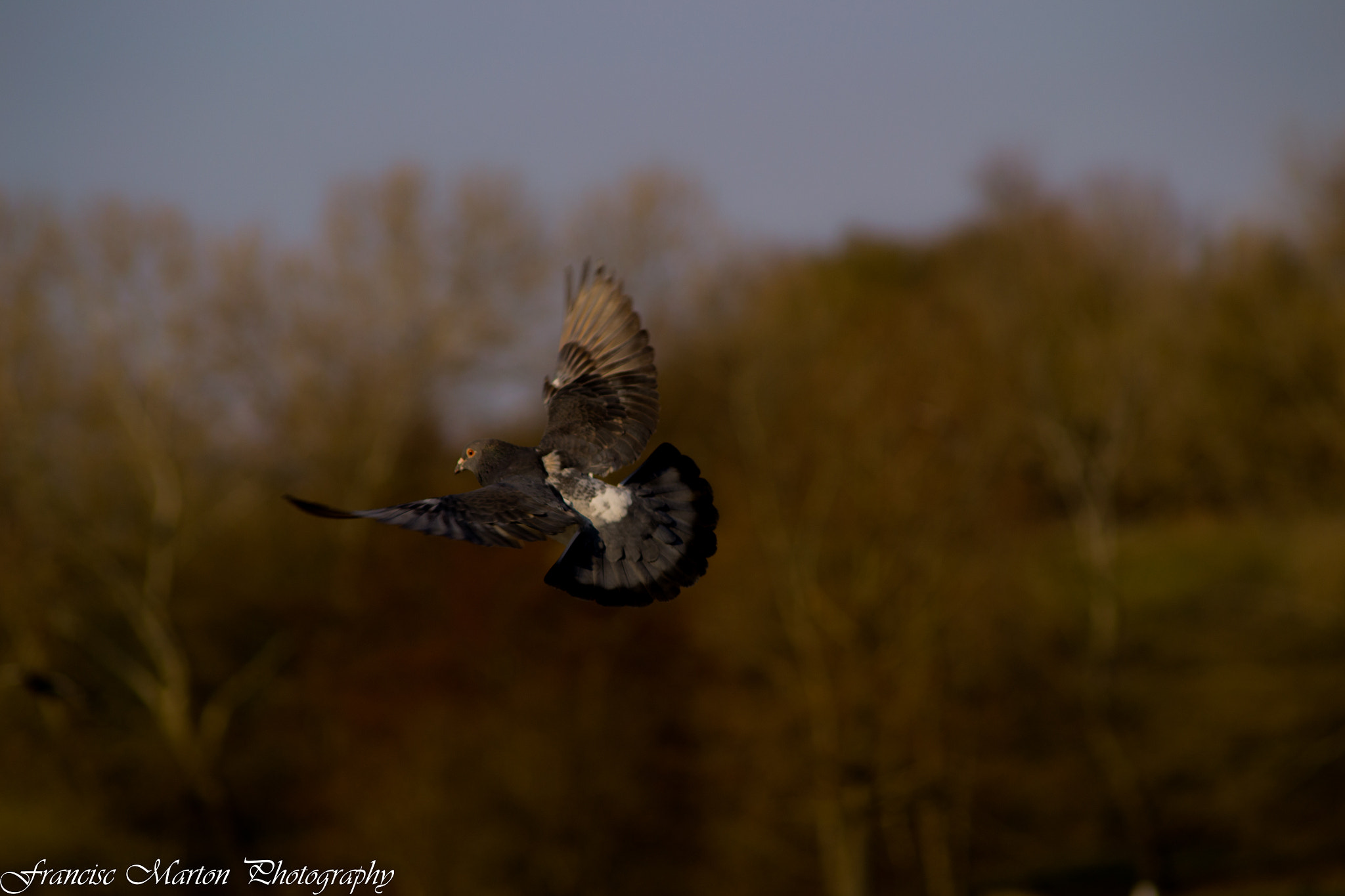 Photograph Pigeon by Francisc Marton on 500px