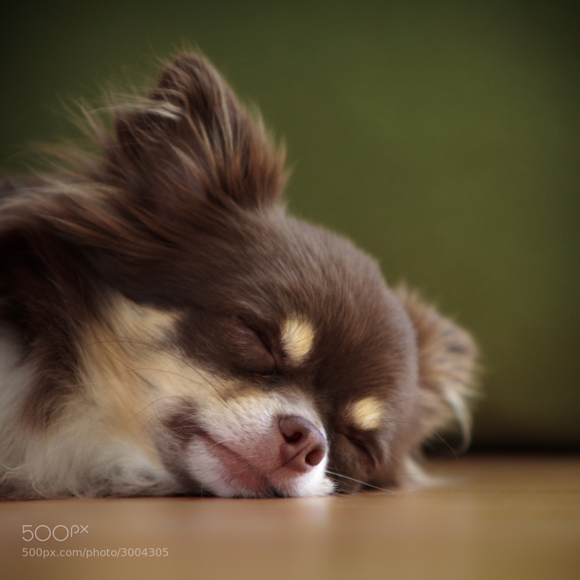 Photograph Darwin | Chihuahua by Dr. Martin Zeile on 500px
