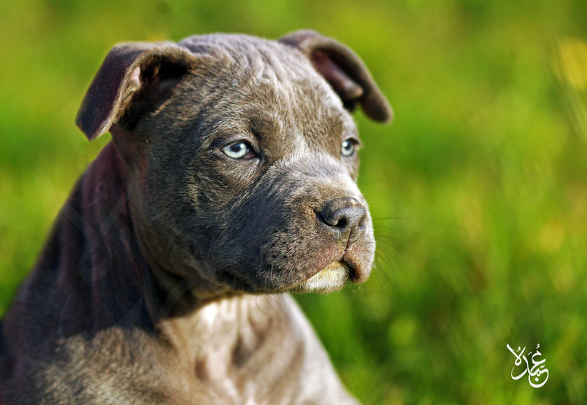 Photograph pitbull by Mohamed  Abdo on 500px