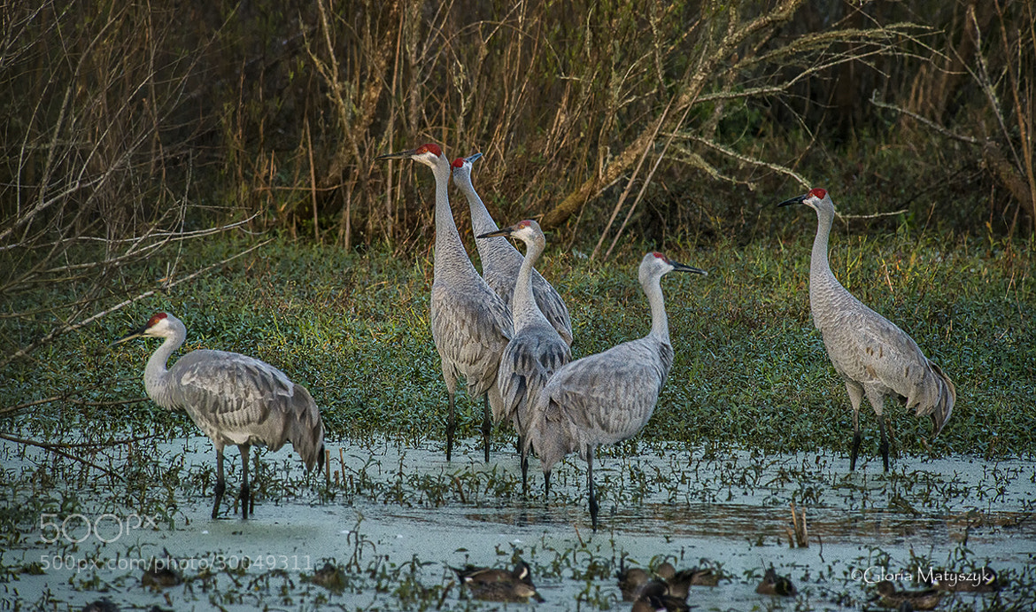 Photograph Six Sandhill Cranes by Gloria Matyszyk on 500px