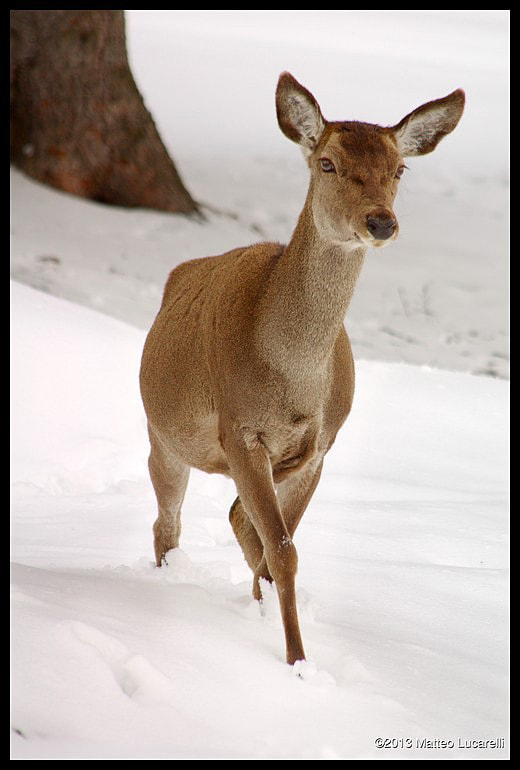 Photograph Female deer in the snow by Matteo Lucarelli on 500px