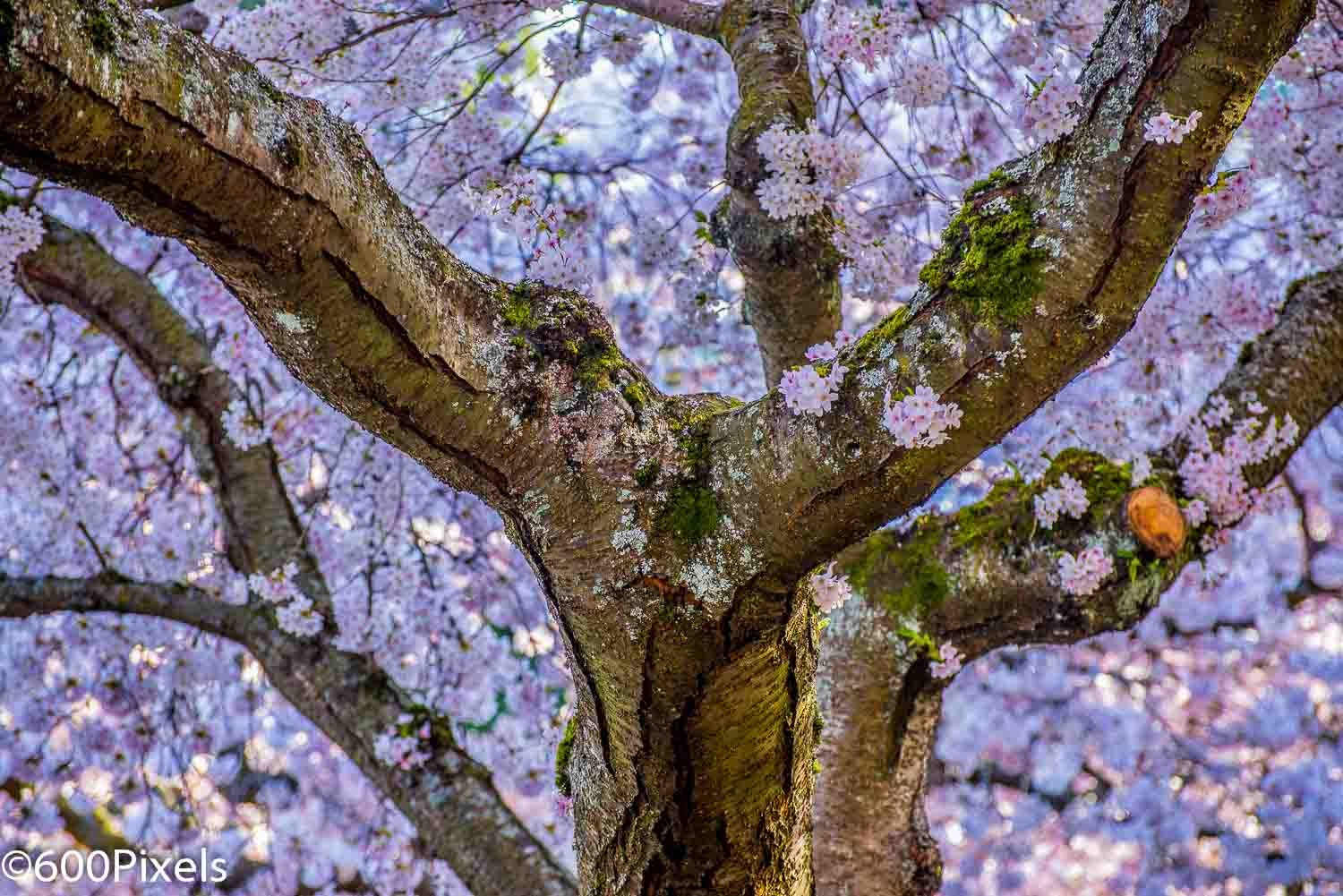 Photograph Cherry Blossom  by Muralee Raghavan on 500px