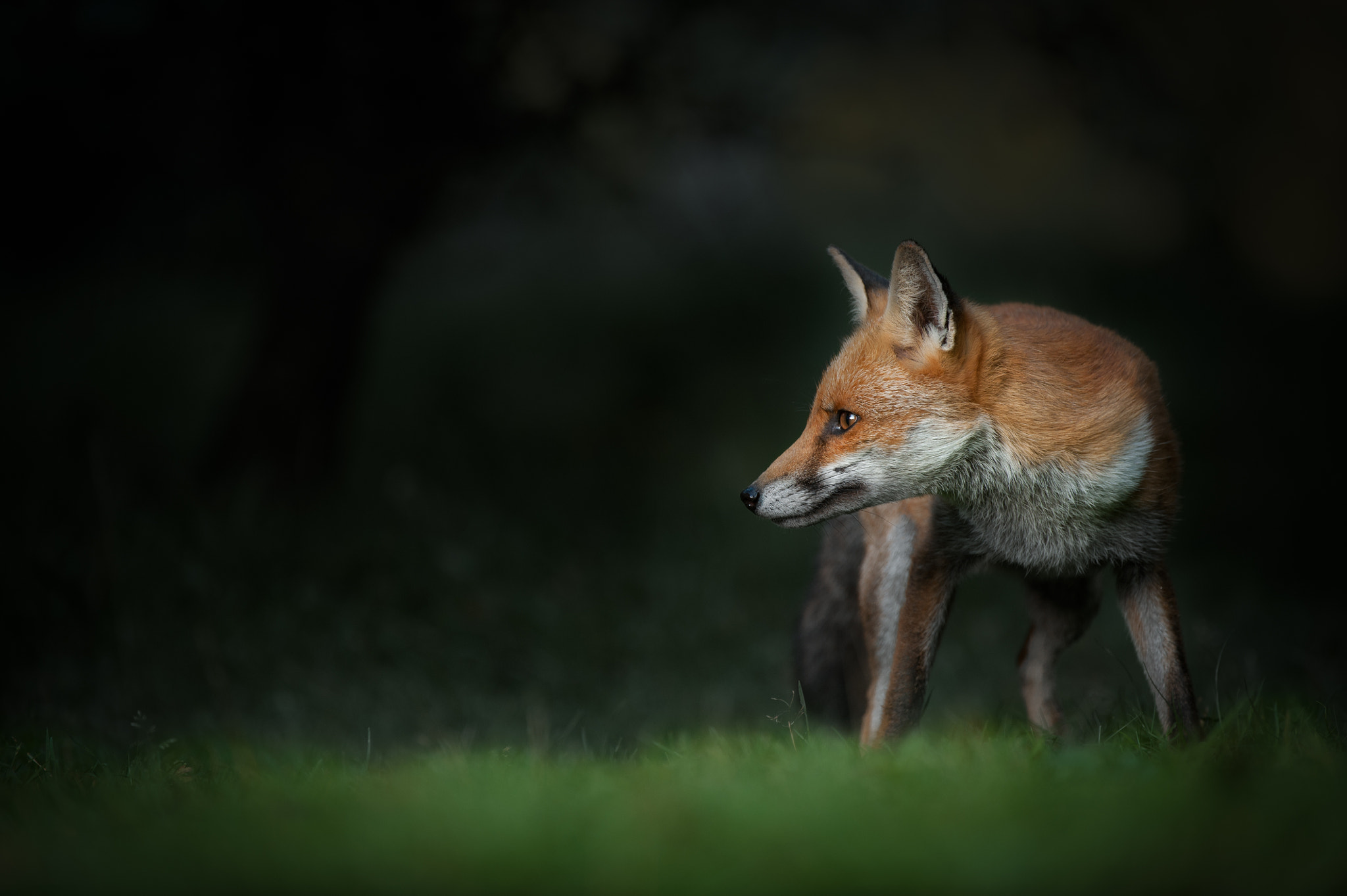 Photograph Red Fox by Andy Astbury on 500px