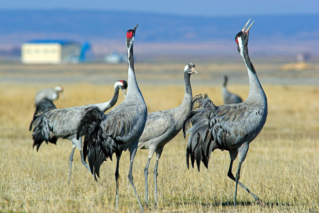 Photograph Common Crane (Grus grus) doing her trumpeting call by Javier Abad on 500px
