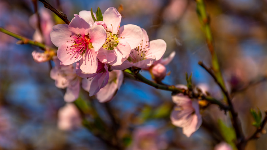 Blooming peach tree flowers by Milen Mladenov on 500px.com