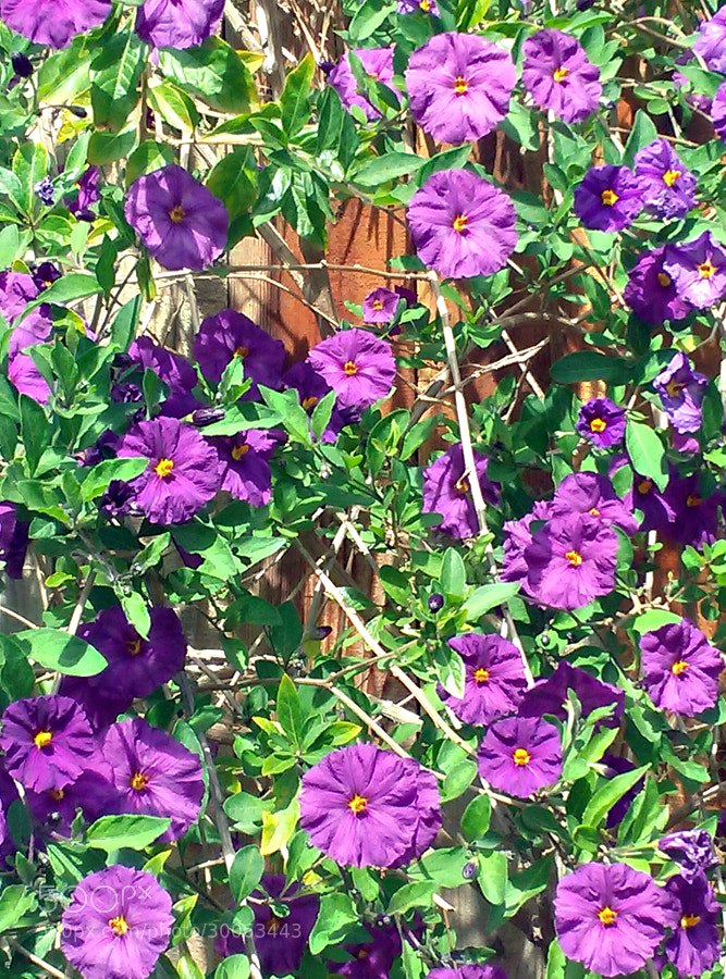 Purple flowers photographed on Easter.