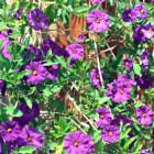 Purple flowers photographed on Easter.