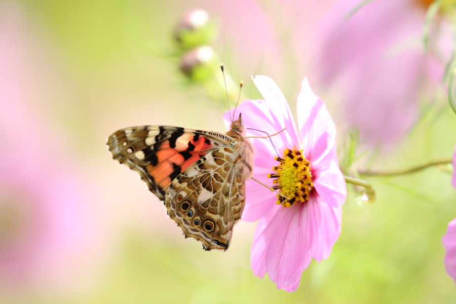 butterfly by shoji uno on 500px.com