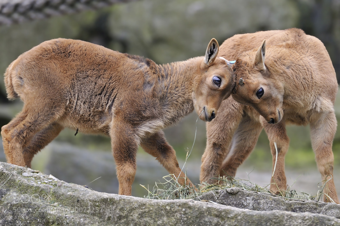 Photograph Young Barbary Sheep Play by Josef Gelernter on 500px