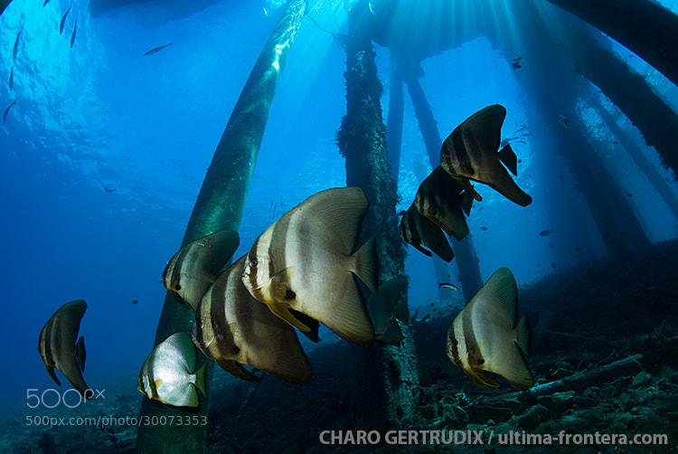 Photograph Batfish by Charo Gertrudix on 500px