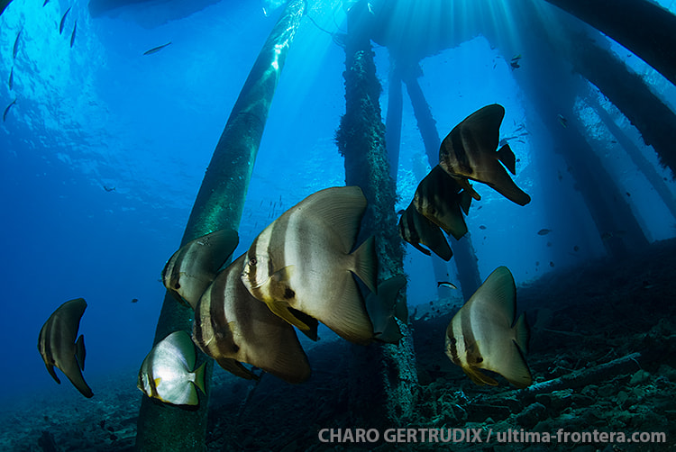 Photograph Batfish by Charo Gertrudix on 500px