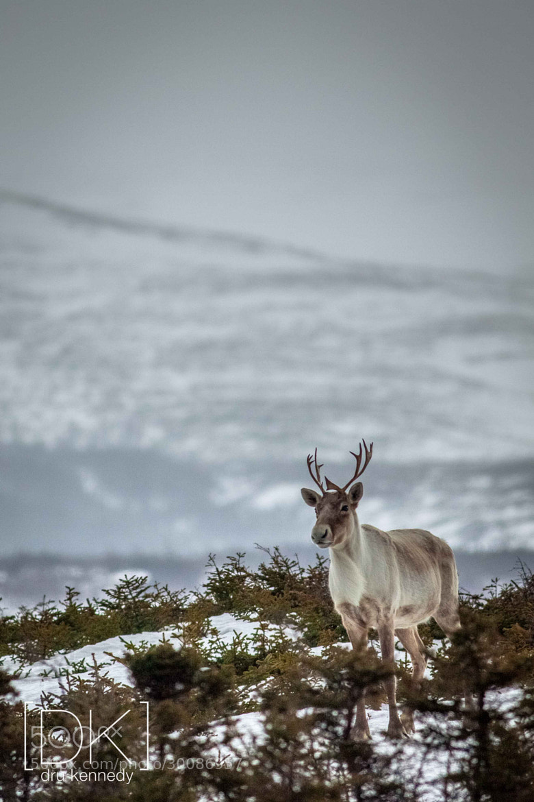 Photograph Spring Caribou by Dru Kennedy on 500px