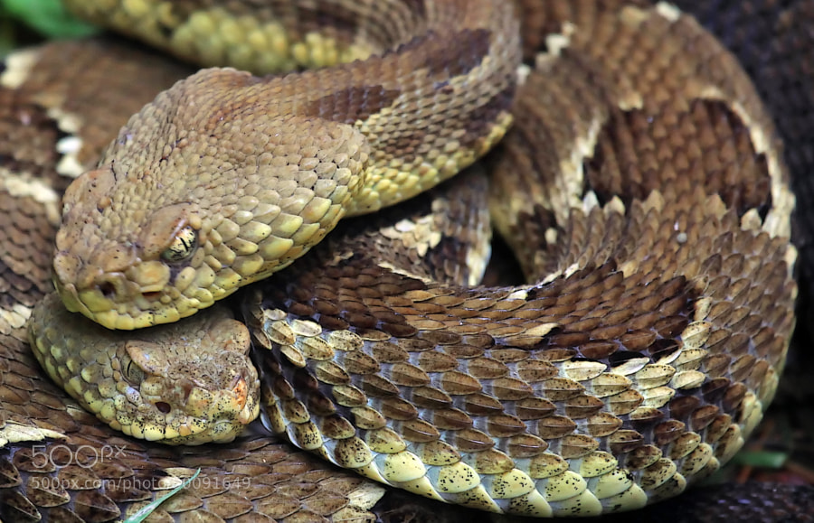 This pair of Timber Rattlers were photographed mating near the family cabin at 8:00 AM.  At 8:00 PM, they were still locked in their mating embrace.  Talk about endurance.