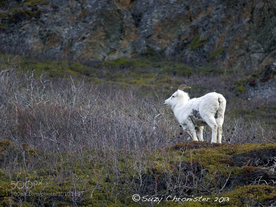 Photograph Sheep by Suzy Chronister on 500px