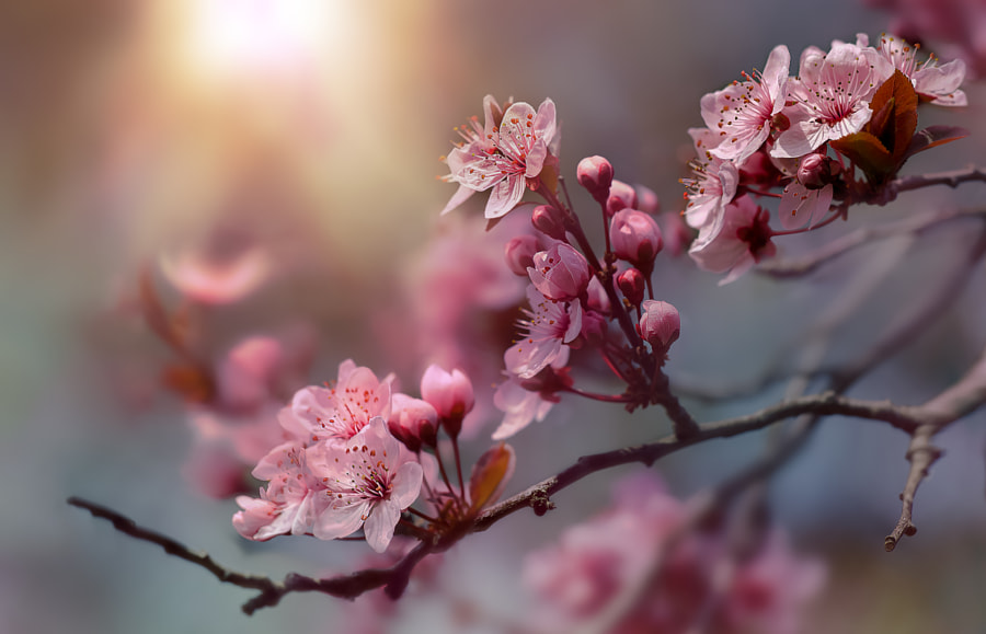 cherry blossoms by Sonja ❤️ Probst on 500px.com