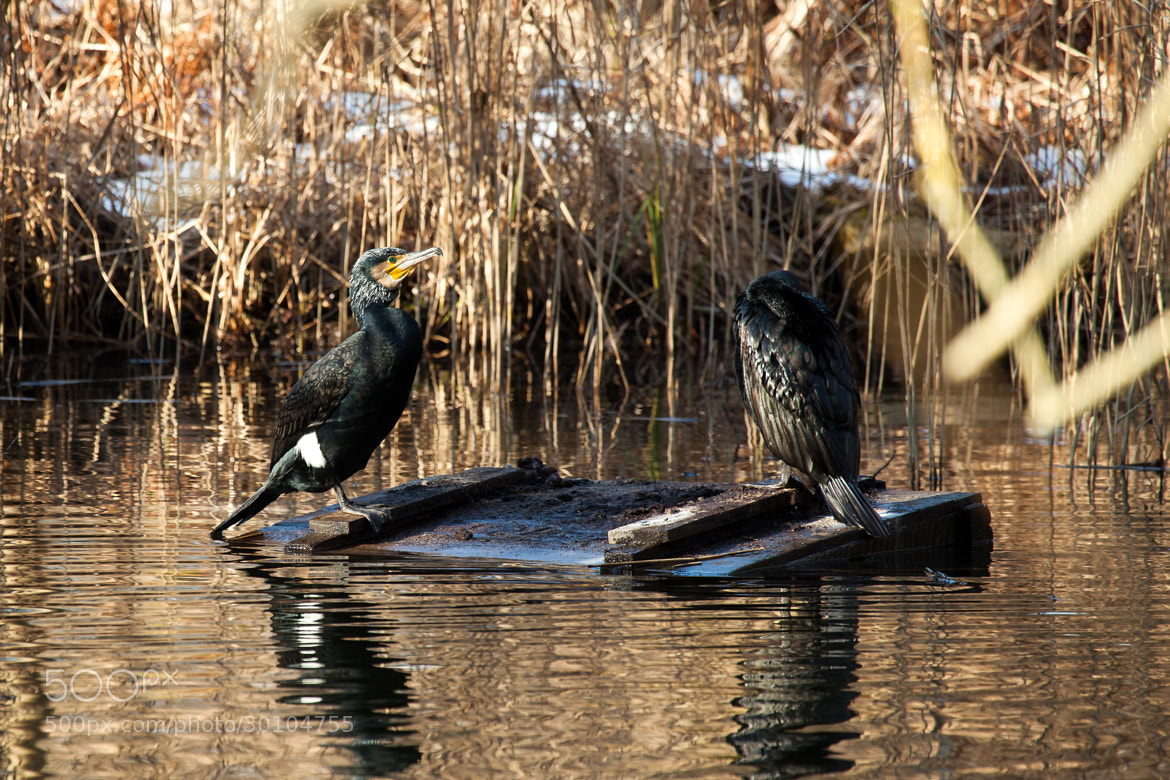 Photograph The great Cormorants on the box by Steen Rasmussen on 500px