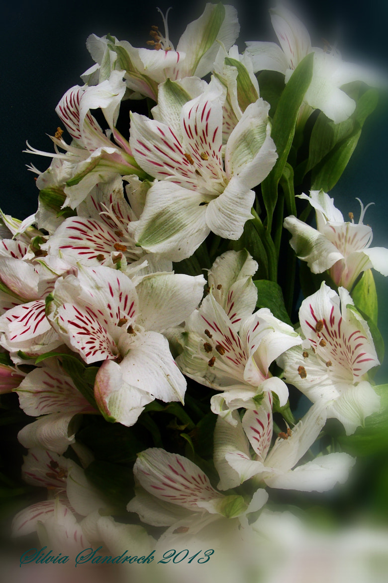 Photograph A Bouquet of  Peruvian Lilies....... by Silvia Sandrock on 500px