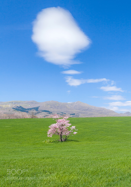 Photograph Cherry Tree by Mitsuhiko Kamada on 500px