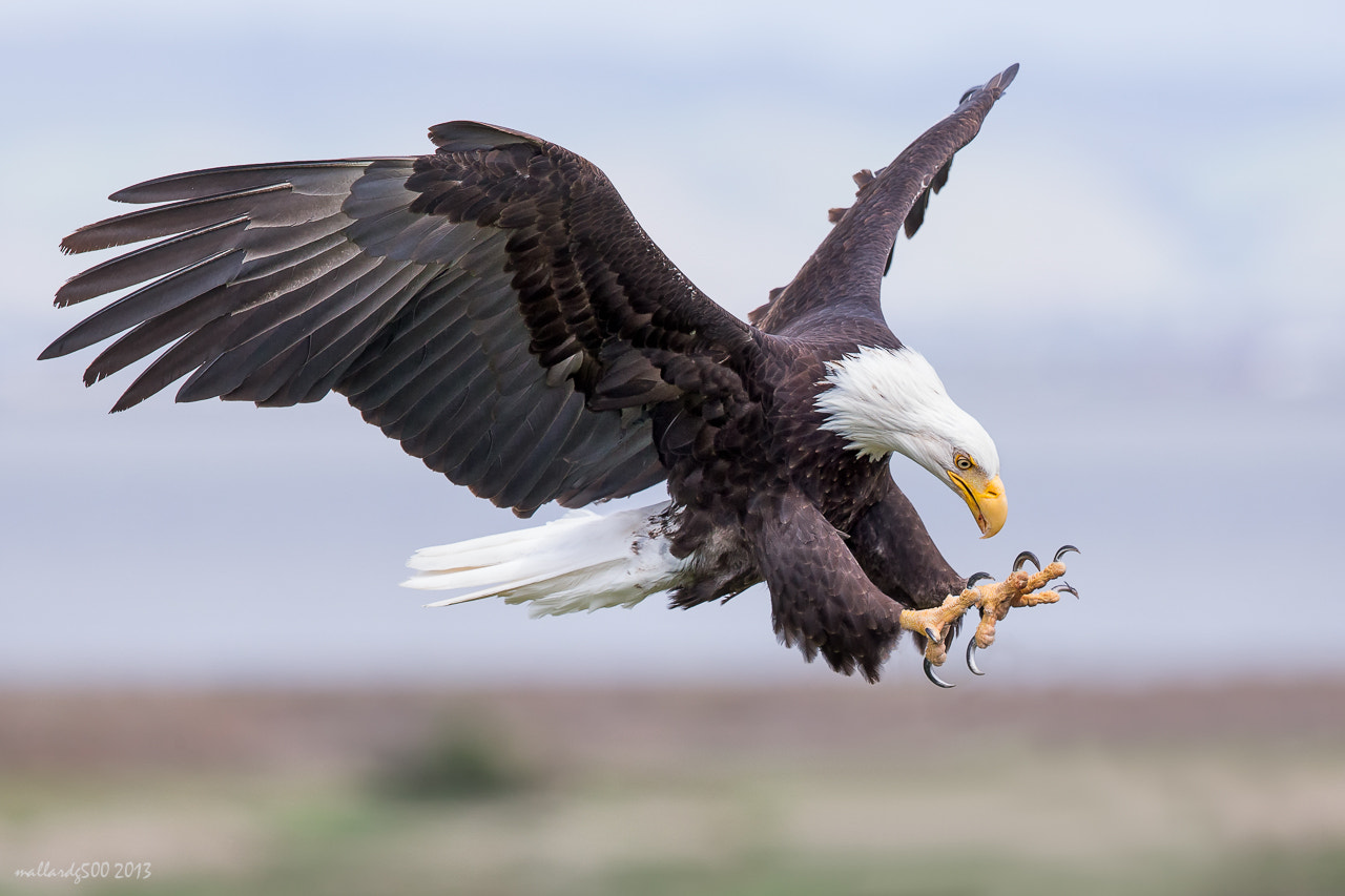 Photograph Bald Eagle by Phoo (mallardg500) Chan on 500px