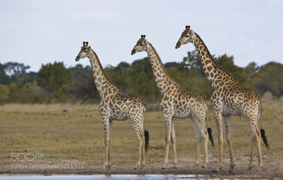 Giraffes have develpoed staring into a fine art, sometimes it can be useful, but in this instance we had no idea,